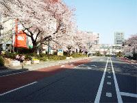 国立の桜は、もう満開 !?